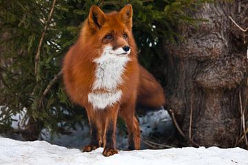 Prachtige rode en zeer pluizige vos op de achtergrond van sparren en witte sneeuw van dichtbij. Staa van Michael Semenov