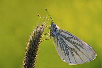 vlinder van Petra Vastenburg