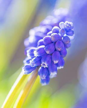 Blaue Traube von Annie Jakobs