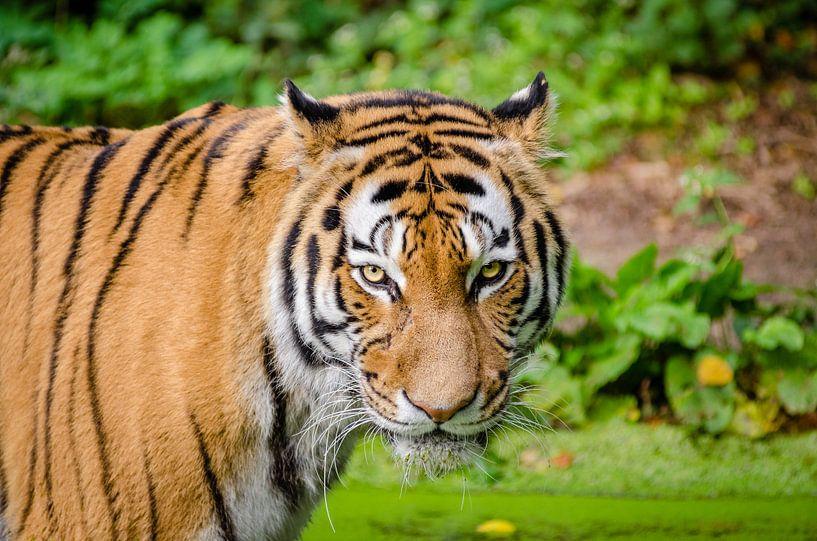 Siberische tijger van Atelier Liesjes