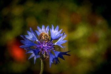 Bloem, korenbloem met bij van Fotos by Jan Wehnert