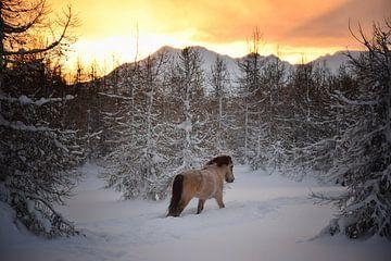IJslands paard rent de zonsondergang tegemoet van Elisa Hanssen