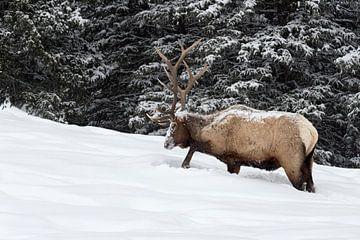 Wapiti ( Cervus canadensis ), scharrt auf Nahrungssuche im Schnee, Yellowstone NP, USA. von wunderbare Erde