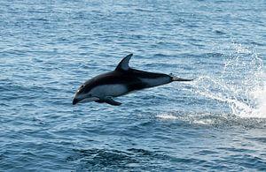 Dolfijn VS van Kees Ham