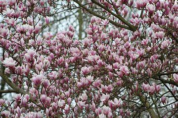 Großer Magnolienbaum in voller Blüte von Geert Visser