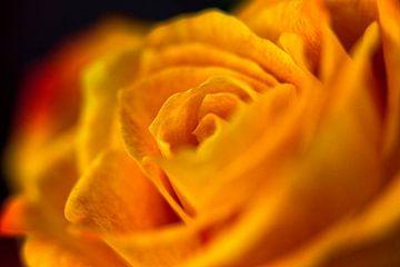 Orange Rose in Nahaufnahme von 2BHAPPY4EVER.com photography & digital art