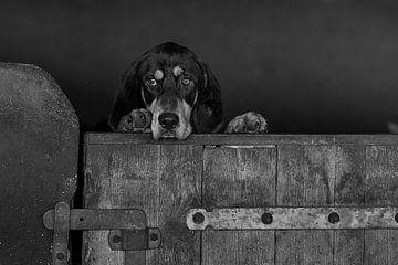 Kerry Beagle schaut über den Rand des Stalls von Caroline van der Vecht