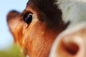 close-up van de kop van een koe met de scherpte op het oog