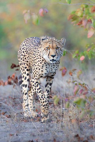 Cheetah in de herfst