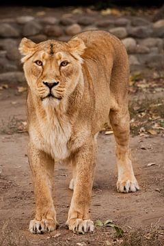 belle lionne puissante la nuit, éclairée par la lumière sur Michael Semenov