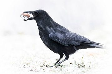 Hongerige zwarte kraai van Guido Rooseleer