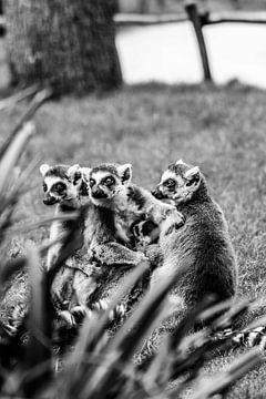 Curieux lémuriens à queue annelée sur Leen Van de Sande