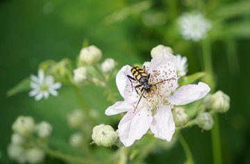 Insect op een witte bloem van Anne van de Beek
