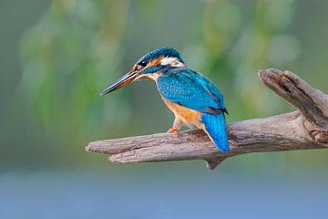 Martin-pêcheur - Concentration