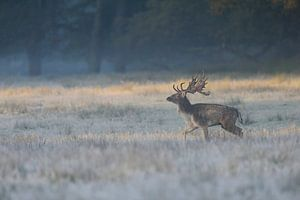 Fallow Deer ( Dama dama ), strong stag in first morning light