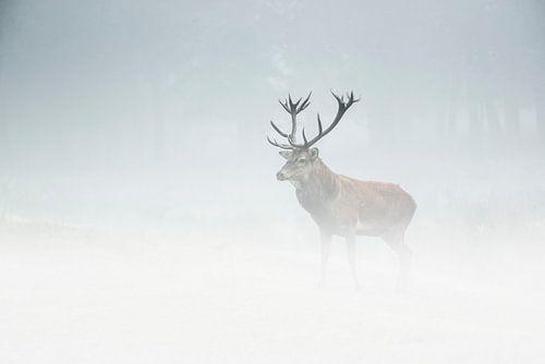 edelhert in de mist