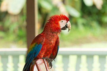 Scarlet macaw parrot resting on patio chair von Tim Verlinden