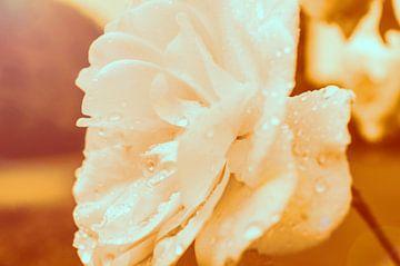 The Orange Rose von Marcel Roggisch