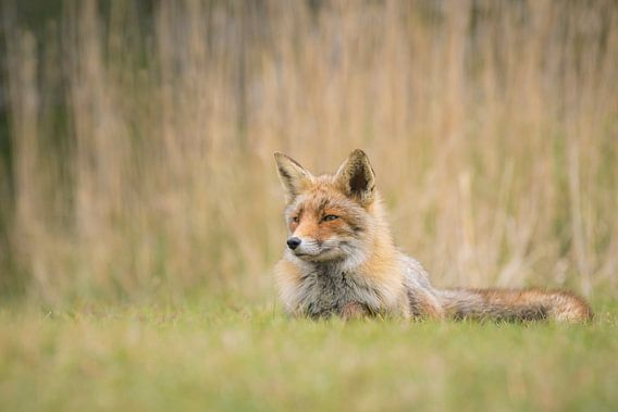 Red Fox Resting van Sander Meertins