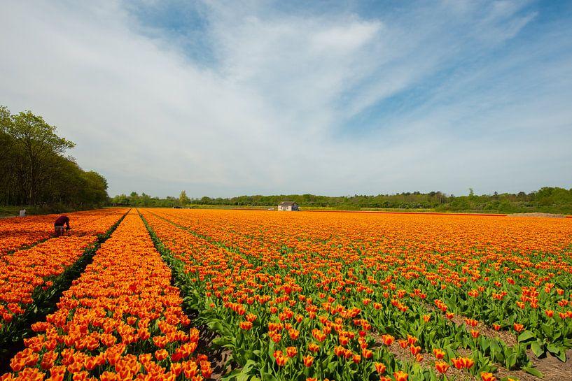 Tulpenveld in Holland. van Brian Morgan