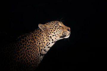 Luipaard portret bij nacht van Jos van Bommel