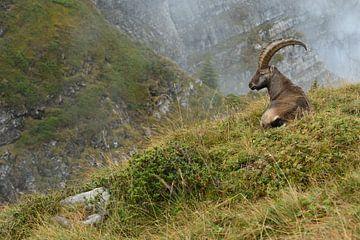 im Lebensraum... Alpensteinbock *Capra ibex* von wunderbare Erde