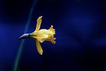 gelbe Narzisse auf blauem Hintergrund von Ribbi The Artist