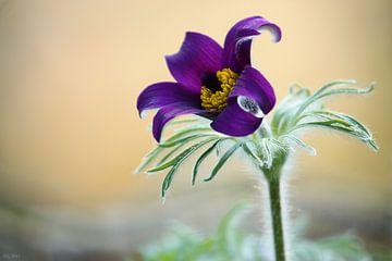 springtime! ... pasqueflower van Meleah Fotografie