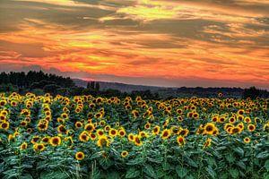 Zonnebloemen met zonsondergang van