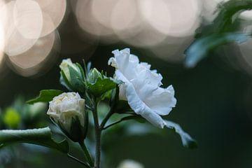 weiße Bokeh-Blume von Tania Perneel