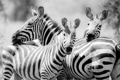 Zebra's in een groep van Tom van de Water