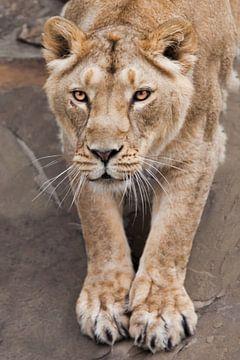 Löwin Körper Vorderteil streckt ihre Pfoten vor Ihnen