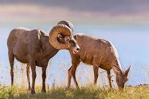 Bighorns aan de waterkant van