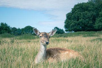 Damhert In Het Hoge Gras van Melvin Fotografie