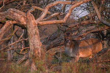 Hirsche in den Wäldern der Amsterdamer Wasserversorgungsdünen von Michael Jansen