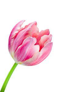 Elegante roze tulp van