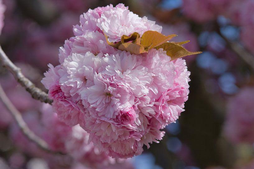 Een bolletje  roze lente bloessems van JM de Jong-Jansen