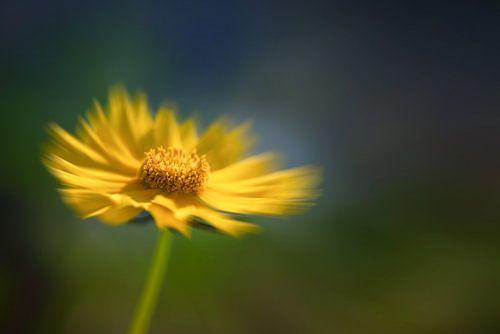 Gele margriet in de wind