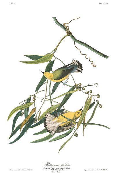 Zitronenwaldsänger von Birds of America
