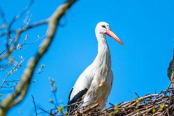 Ein Storch landet in Richtung seines Nestes mit einem blauen Himmel von Matthias Korn
