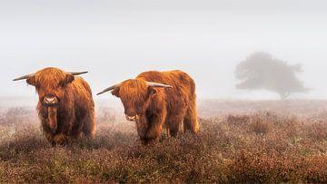 Schotse hooglanders van Bureau Brauns