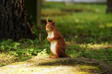 A red squirrel  van Yven Dienst