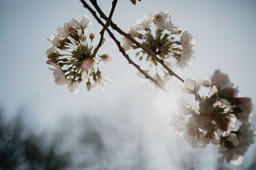 Blüte im Gegenlicht von Sanne van Pinxten