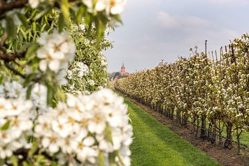 Kerktoren Buren bij fruitboomgaard van Moetwil en van Dijk - Fotografie