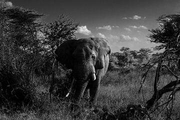 Olifant op de Serengeti van Robin Langelaar