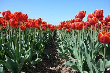 rote Tulpen von My Footprints