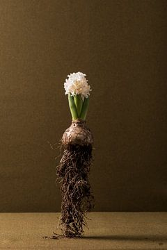 Hyacint in de lucht, studiofotografie. Met een bruine achtergrond geeft het een rustig beeld. van Lieke van Grinsven van Aarle