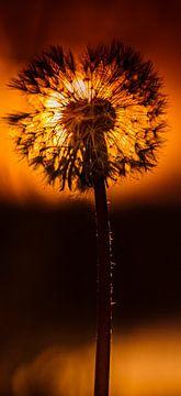 Löwenzahnflaum bei Sonnenaufgang von Jasper Nieuwenhuizen