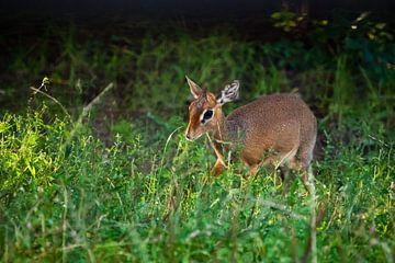 Kirk's Dik-Dik - ist eine kleine, in Ostafrika heimische Antilope auf grünem Hintergrund, im Licht d von Michael Semenov