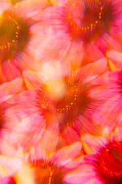 Rosa-orange Echinacea-Blüten
